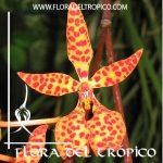 Orquidea Renanthera monachica Comprar - Tienda Flora del Tropico