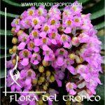 Orquidea Schoenorchis fragans Comprar - Tienda Flora del Tropico