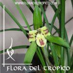 Orquidea cymbidium goeringii Comprar - Tienda Flora del Tropico