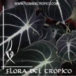 Alocasia reginula Black Velvet Comprar - Tienda Flora del Tropico