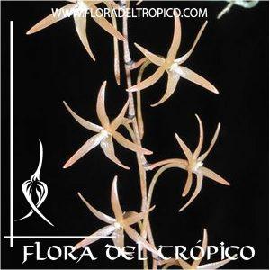 Orquidea Aerangis seegeri Comprar - Tienda Flora del Tropico