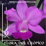 Orquidea Cattleya walkeriana Comprar - Tienda Flora del Tropico