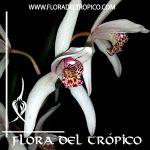 Orquidea Cymbidium formosanum x erythrostylum Comprar - Tienda Flora del Tropico