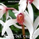 Orquidea Cymbidium formosanum x erytrostylum Comprar - Tienda Flora del Tropico