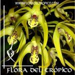 Orquidea Dendrobium Hilda Poxon Comprar - Tienda Flora del Tropico