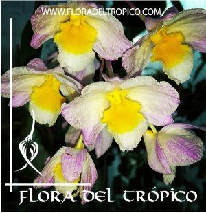 Orquidea Dendrobium farmeri Comprar - Tienda Flora del Tropico