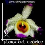 Orquidea Dendrobium wardianum Comprar - Tienda Flora del Tropico