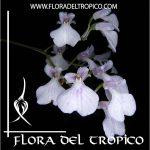 Orquidea Ionopsis utricularioides Comprar - Tienda Flora del Tropico