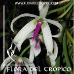 Orquidea Leptotes bicolor Comprar - Tienda Flora del Tropico