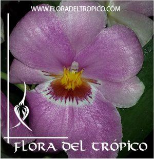 Orquidea Miltoniopsis Comprar - Tienda Flora del Tropico