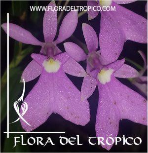 Orquidea Oerstedella centradenia Comprar - Tienda Flora del Tropico