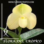 Orquidea Paphiopedilum wellesleyanum alba Comprar - Tienda Flora del Tropico
