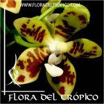 Orquidea Phalaenopsis viridis Comprar - Tienda Flora del Tropico