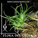 Orquidea Phymatidium falcifolium Comprar - Tienda Flora del Tropico