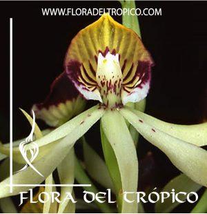 Orquidea Prosthechea cochleata Comprar - Tienda Flora del Tropico