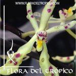 Orquidea Renanthera citrina Comprar - Tienda Flora del Tropico