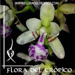 Orquidea Sedirea japonica Comprar - Tienda Flora del Tropico