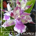 Orquidea Zygonisia Rhein Blue Comprar - Tienda Flora del Tropico