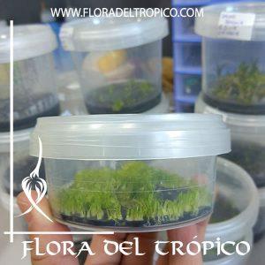 floradeltropico, produccion de orquídeas