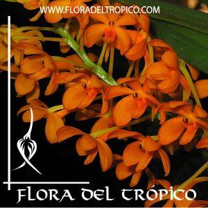 Orquidea Ascocentrum garayi