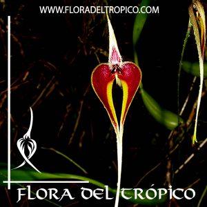 Orquidea Bulbophyllum blumei