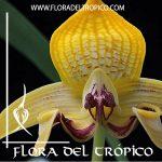 Orquidea Bulbophyllum dearei