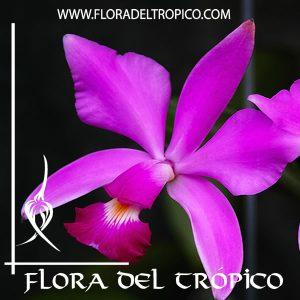 Orquidea Cattleya violacea Muse