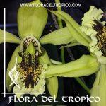 Orquidea Coelogyne pandurata
