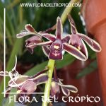 Orquidea Cymbidium canaliculatum