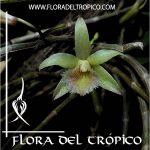 Orquidea Dendrobium macrostachyum