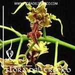 Orquidea Dendrobium spectabile