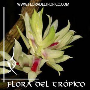 Orquidea Dendrobium tanii