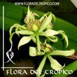 Orquidea Prosthechea radiata