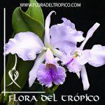 Orquidea cattleya jenmanii var. coerulea