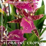 Orquidea Bratonia Shelob Tolkien Comprar - Tienda Flora del Tropico