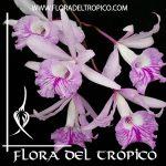 Orquidea Brougthonia negrilensis