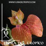 Orquidea Comparettia macroplectron x speciosa Comprar - Tienda Flora del Tropico