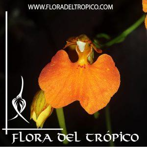 Orquidea Comparettia speciosa Comprar -Tienda Flora del Tropico