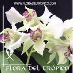 Orquidea Dendrbium eximium x rhodostictum Comprar - Tienda Flora del Tropico