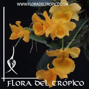 Orquidea Dendrobium jenkinsii Comprar - Tienda Flora del Tropico