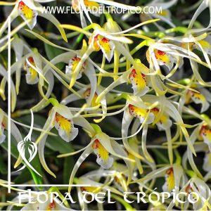 Orquidea Diplocaulobium chrysotropis Comprar - Tienda Flora del Tropico
