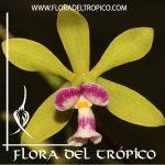 Orquidea Encyclia mooreana