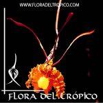 Orquidea Psychopsis papilio Comprar - Tienda Flora del Tropico