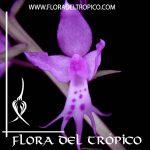 Orquidea Stenoglottis longifolia Comprar. Tienda Flora del Trópico
