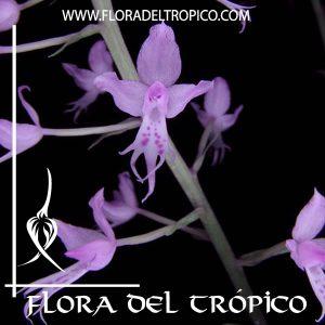 Orquidea Stenoglottis longifolia2