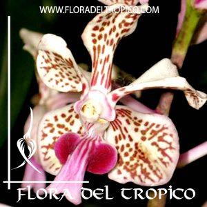 Orquidea Vanda suavis Comprar - Tienda Flora del Tropico