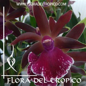 Orquidea Zygopetalum Louisendorf Comprar - Tienda Flora del Tropico