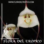 Orquidea Dracula lotax Comprar - Tienda Flora del Tropico