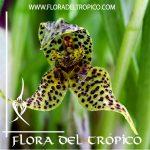 Orquidea Dryadella simula Comprar - Tienda Flora del Tropico