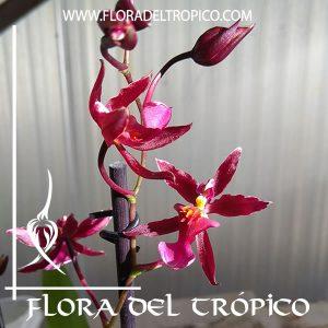 Orquidea Oncidium Von Holm Comprar - Tienda Flora del Tropico